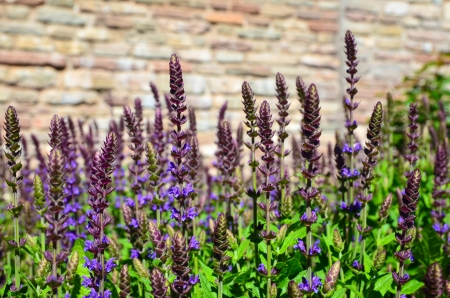 Close up image from a garden bed of salvia flowers Stock Photo - 20724286