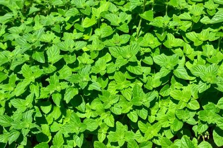 Background image of lemon balm herb Stock Photo - 20724293