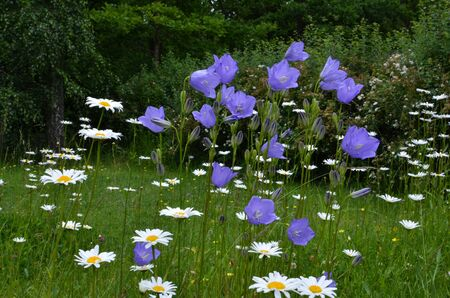Summer flowers - bluebells and daisies in a green meadow