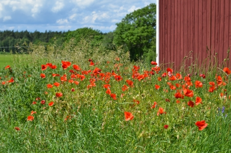 Blossom poppies at a red barn on the island Oland in Sweden  photo