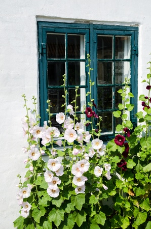 Summer flowers, hollyhocks, in front of an old window  photo