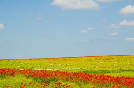 Field with blooming poppies nearby Lejre at Zealand in Denmark photo