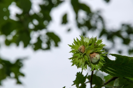 Growing hazel nuts among leaves photo
