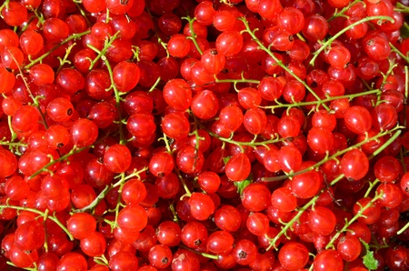 Closeup of healthy glowing red currants Stock Photo - 21764071