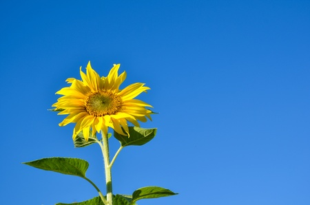 Blossom sunflower at a clear blue sky photo