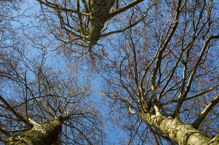 Black alder trees from low angle