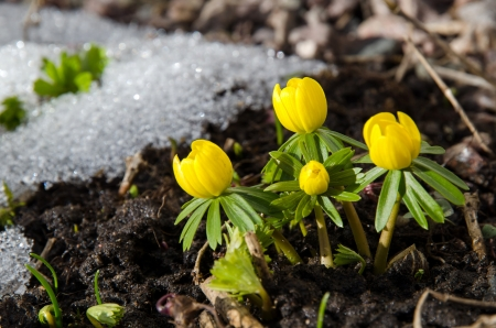 Early Winter aconite in a garden at melting snow