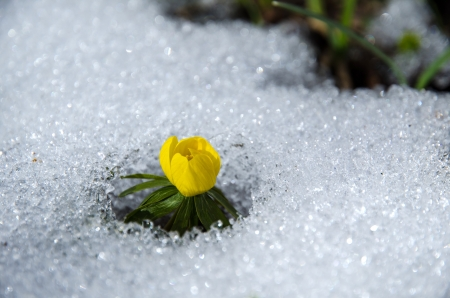 Early flower Winter aconite  at melting snow  photo