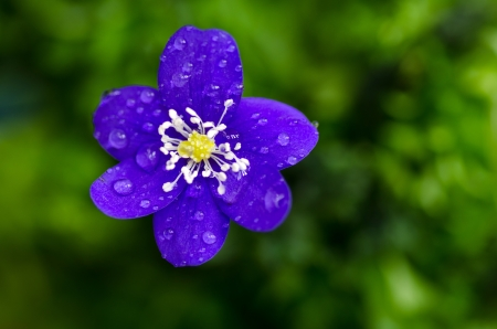 Closeup of Common hepatica with dew drops  photo