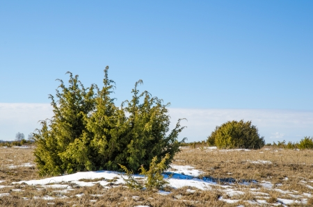 Juniperus bushes at the Great Alvar Plain located on the island Oland in south-eastern Sweden  Stock Photo
