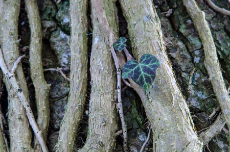 horozontal: Common Ivy, closeup of a twisted plant on a big tree trunk