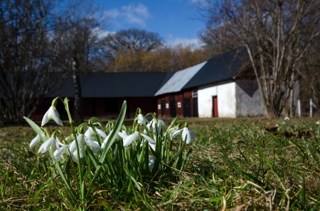 Group of snowdrops in front of an old swedish barn  photo