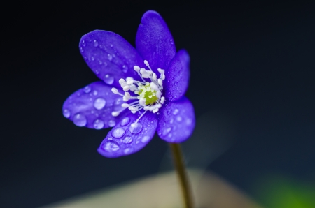 Common hepatica closeup with dew drops  photo