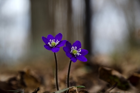 Two deep blue anemones, Common hepatica closeup  photo
