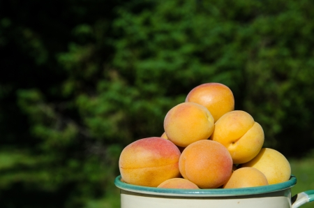 Closeup on apricots in a cup outdoors in a green garden Stock Photo - 22172889