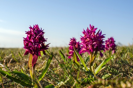 Elder-flowered Orchid in purple colour  Photo taken at the Great Alvar Plain on the island Oland in Sweden  photo