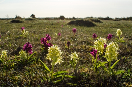Yellow and purple wild orchids at sprintime at the Great Alvar Plain on the island Oland in Sweden  photo