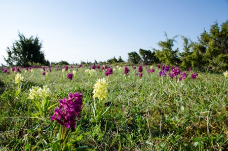 oland: Wild orchids at the Great Alvar Plain on the island Oland in Sweden