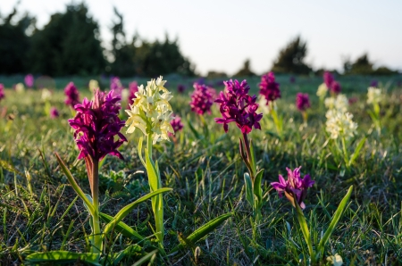 oland: Elder-flowered Orchids in morning sun at the Great Alvar Plain on the island Oland in Sweden