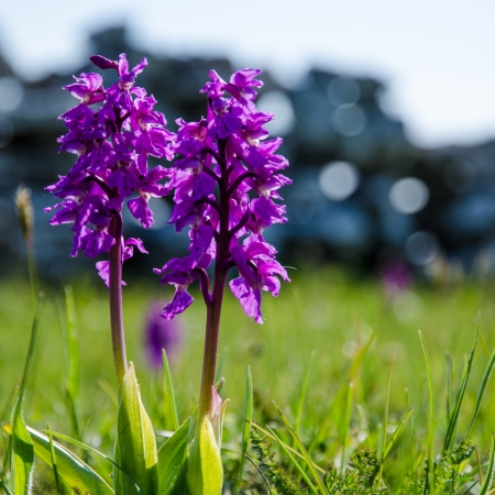 Wild orchids - springtime symbols  From the island Oland in Sweden  Standard-Bild