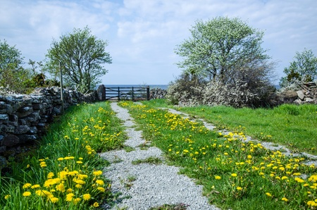 Dandelions on a dirt road leading to a gate by the sea  From the island Oland in Sweden  photo