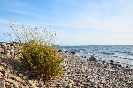 Coloured grass plant at the stony coast of the Baltic sea in Sweden Stock Photo