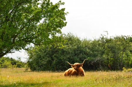 oland: Resting highland cattle in a pasture landscape Stock Photo
