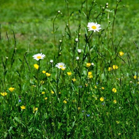 Daisies in a summer meadow  Stock Photo - 22522335