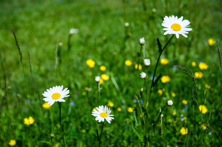 Daisies in a green summer meadow  Stock Photo - 22522340
