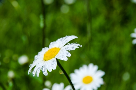 Daisy with rain drops  in a summer meadow Stock Photo - 22522345