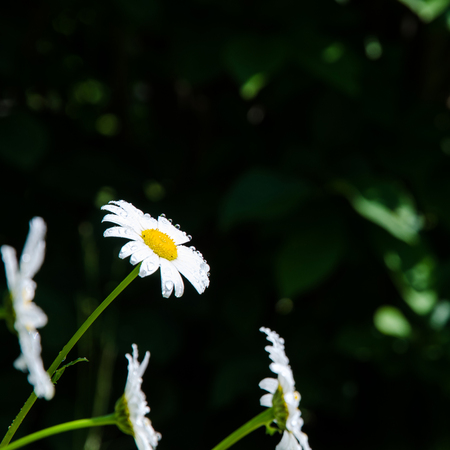 Daisy with water drops at dark background  Stock Photo - 22522350