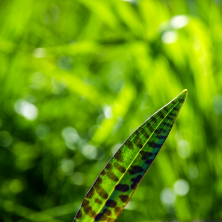 oland: Heath spotted orchid leaf at a bright and green background  From the island Oland in Sweden