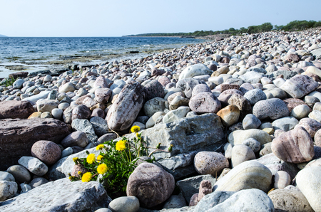 oland: Dandelion among stones at a stony coast  From the island Oland in Sweden