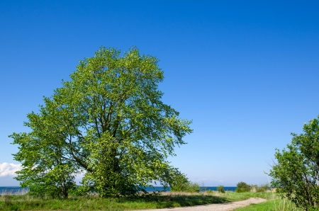 Big, wide tree by roadside at the coast of the Baltic Sea on the island Oland in Sweden