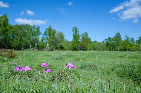 birdseye: Birdseye primerose in marshland