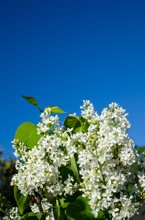 White common lilac at blue sky  Stock Photo