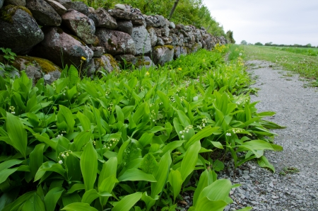 Lily of the Valley at a stonewall along roadside  From the island Oland in Sweden Stock Photo - 22517487