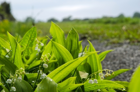 Lily of the Valley with rain drops at the island Oland in Sweden  photo