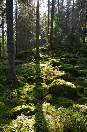 backlite: Green mossy forest in backlighting  From the province Smaland in Sweden