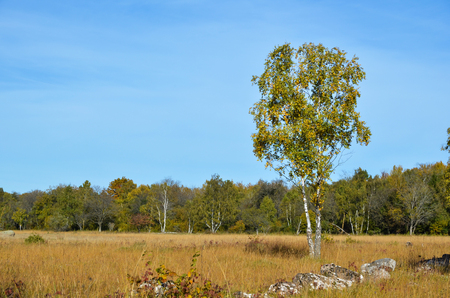 Lone birch tree in a meadow with fall colors in Sweden  Stock Photo - 22968409