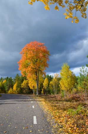 Glowing aspen at a swedish country road side  photo