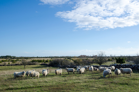 oland: Grazing sheep herd at the Great Alvar Plain on the Swedish island Oland