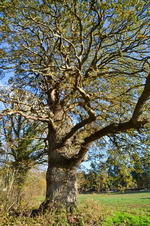 A mighty oak tree at the Swedish island Oland  photo