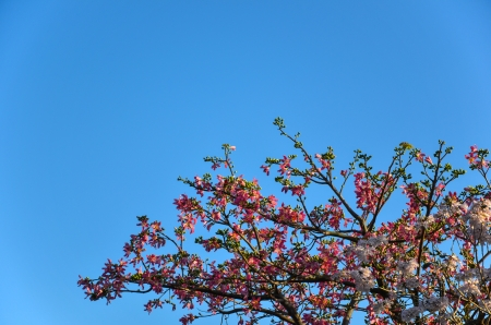 Almond tree with flowers and fruits at blue sky Stock Photo - 24645887