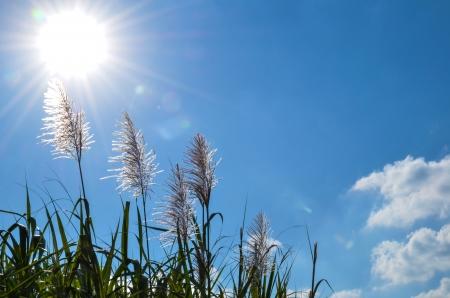 Sonne über Zuckerrohr Blumen und blauer Himmel bei Okinawa in Japan