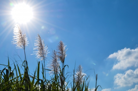 Sun over sugar cane flowers and blue sky at Okinawa in Japan Stock Photo