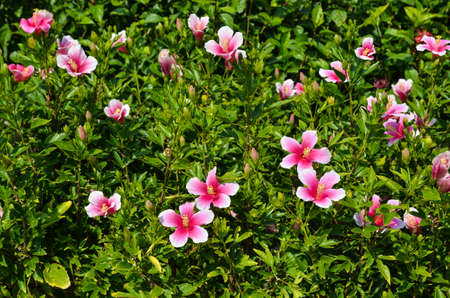 Bunch of blossom pink hibiscus at the island Okinawa in Japan photo