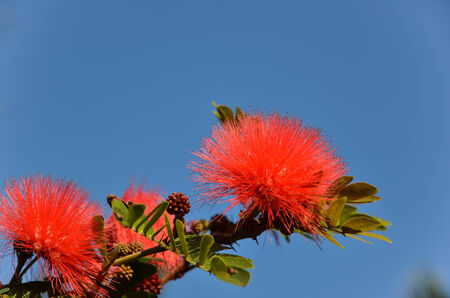 powder puff: Red powder puff from the tropical island iriomote among the yaeyama islands in Japan Stock Photo