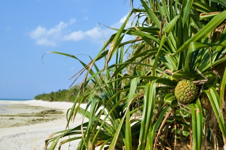 The tropical fruit adan at the beach of the japanese island Taketomi