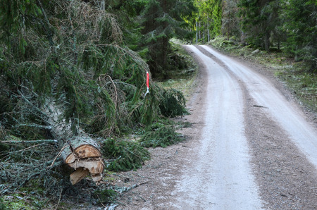 Warning for a fallen spruce at roadside photo